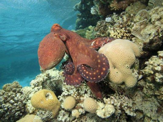 File Octopus.jpg