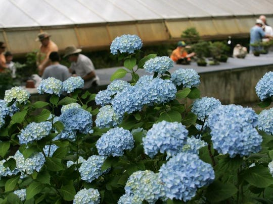 Learn to grown blue hydrangeas and others at the Mountain Lakes Garden Club's program.
