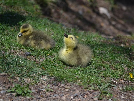 DR-grassroots-goslings-reader.jpg