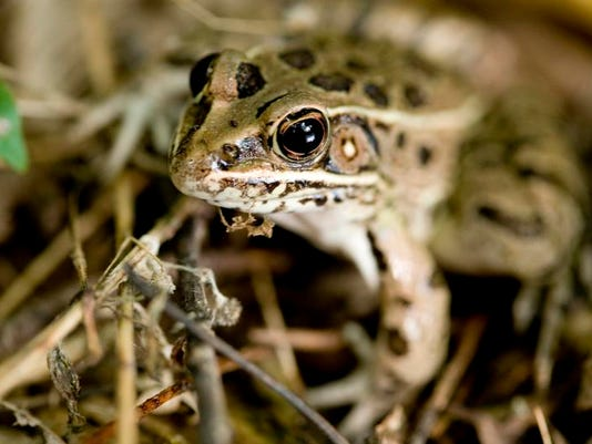 Pickerel_Leopard_Frog_0012.jpg