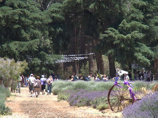 The Lavender Festival at Highland Springs Resort in Cherry Valley.