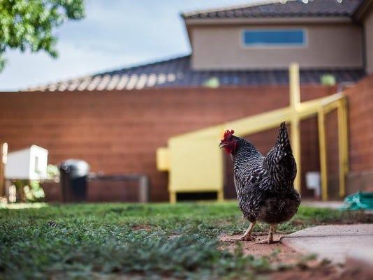 -STG Chickens 0830-5083.jpg_20130830 (2).jpg