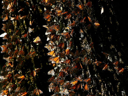 AP Mexico Monarch Butterflies