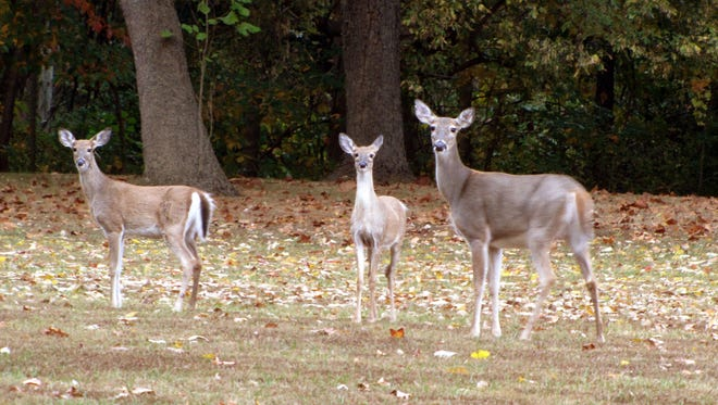 A mother white tail deer and two half-grown fawns pause by the roadside in Harmonie State Park.