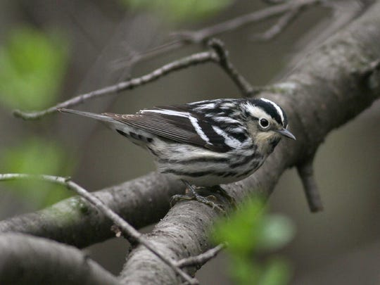 A black-and-white warbler.