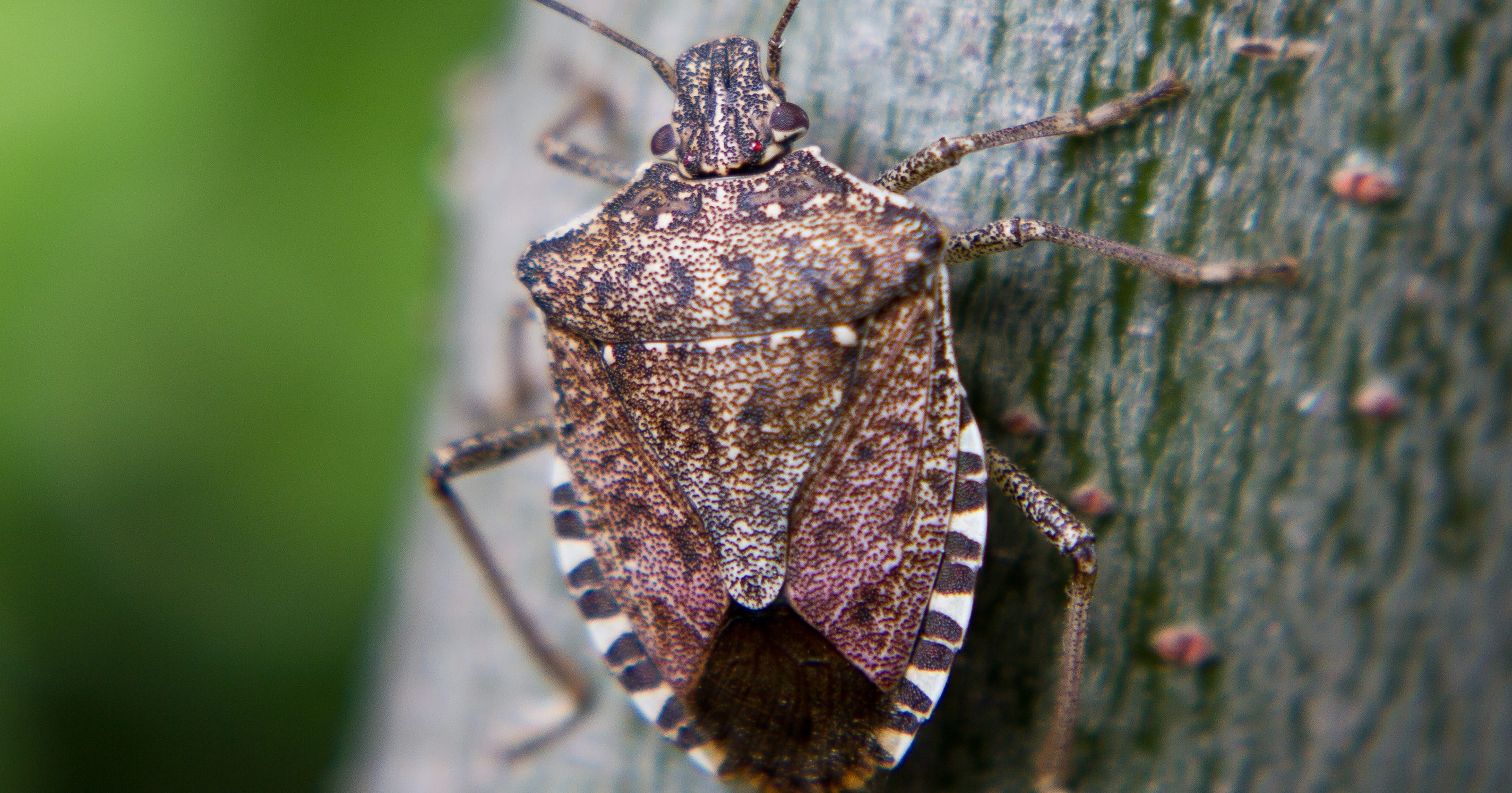 Stink Bugs Are Back What They How