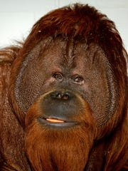 Charley the orangutan