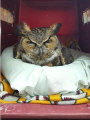 A great horned owl that was sick and died from suspected