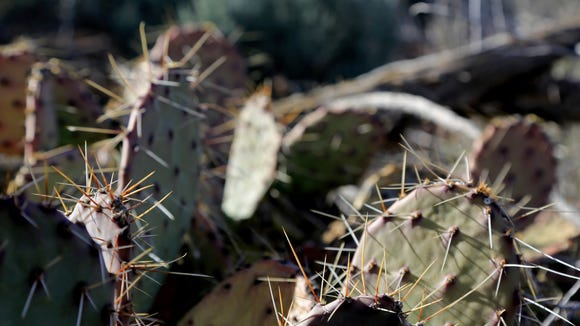 Cacti grow along the northern end of the Red Mountain Trail.