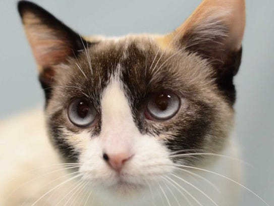 Peridot: Female snowshoe mix, adult. Intake date: 10/24/2017