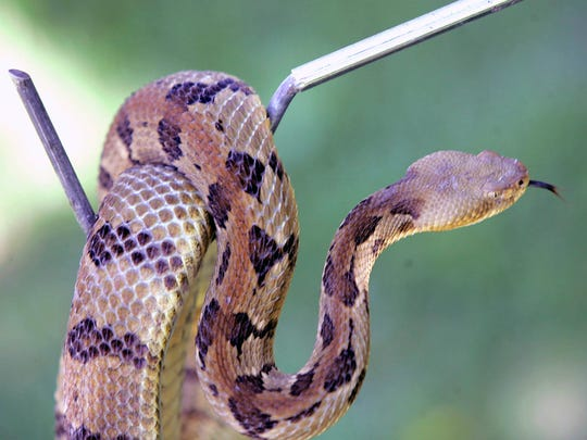Timber rattlesnakes are basically passive animals, but can become defensive when threatened, authorities say.