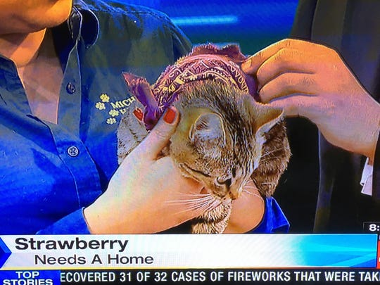 A purple bandana was tied around Strawberry, a cat available for adoption from the Michigan Humane Society.