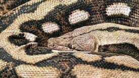 This is not the missing snake, but a similar type.
