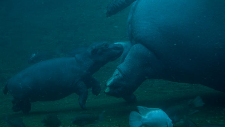 Memphis Zoo welcomes Baby Hippo