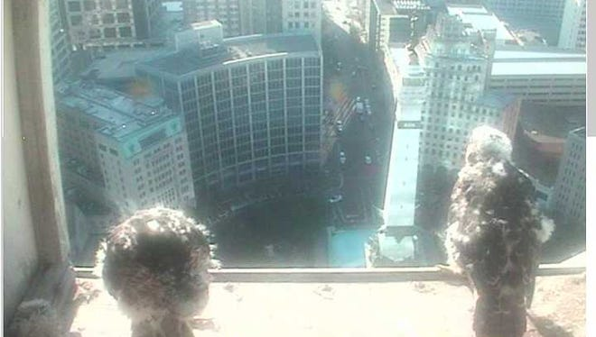 Falcon chicks take in the view of Monument Circle.