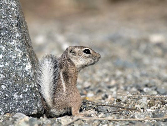 Antelope Squirrel.tif