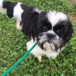 Petey, a shihtzu, is progressing well after being found chained to a stop sign in Titusville in late April.
