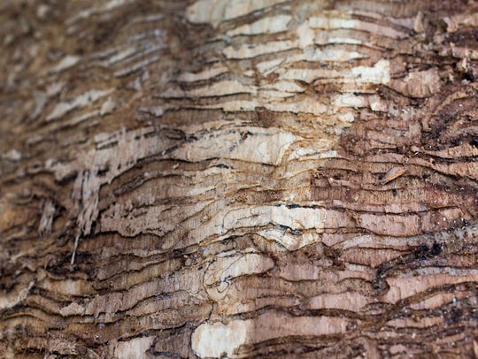 Damage caused to the inner bark layer of an ash tree