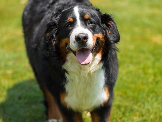 25. Bernese mountain dogs • 2016 rank: 27 • 2007 rank: