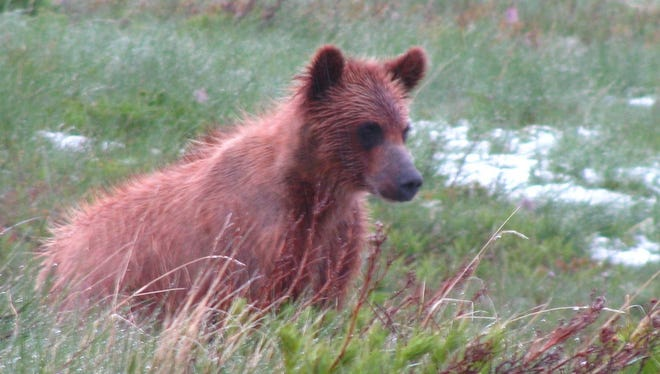 A young bear is spotted near Many Glacier at Glacier National Park. A new study of grizzly bear genetics in the Northern Continental Divide Ecosystem showed that 101 offspring came from a single male, and 61 from another.