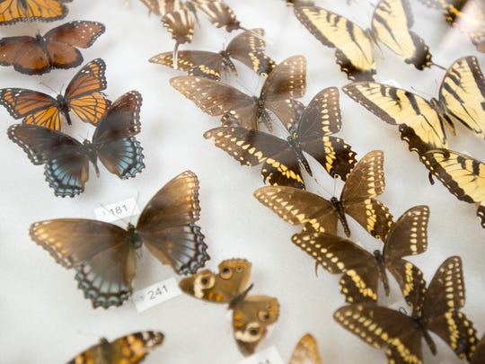 A variety of butterflies of Santa Rosa County are on display at the Panhandle Butterfly House in Navarre on Friday, March 16, 2018.