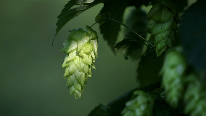 One of the seven varieties of hops growing at Bluebell Hopyard in Farmington.