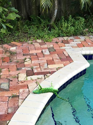 An iguana lies near a pool after falling from a tree in Boca Raton, Fla., on Jan. 4, 2018. It's so cold in Florida they are are falling from their perches in suburban trees as they freeze, but that doesn't mean they're dead, experts say.