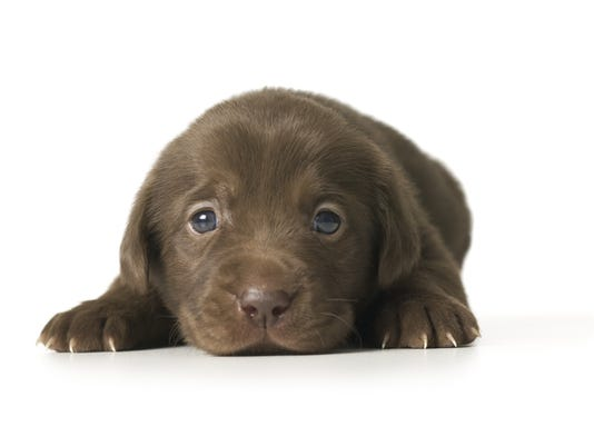 Close-up of a puppy lying down