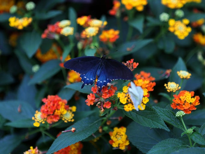 A butterfly sits on colorful flowers at the Butterfly Show at Krohn Conservatory on Friday, April 11, 2014.  This year's annual butterfly show features the exotic butterflies of Costa Rica.  The shows runs April 12 through June 22, and features 16,000 butterflies.