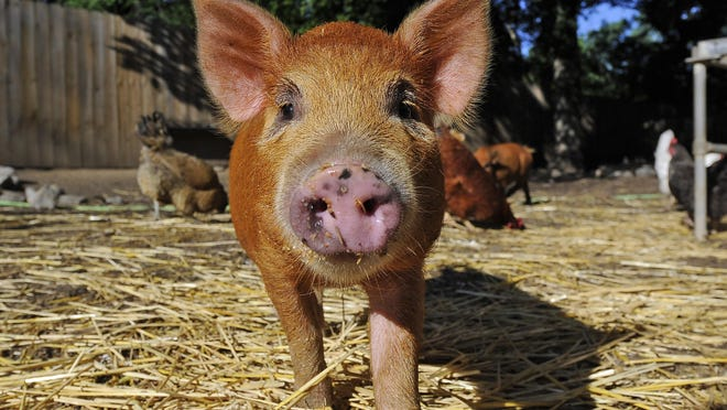 Trevecca Urban Farms is home to this miniature pig. The farm has been criticized for a rash of animal deaths in the past couple of years, including five pigs.