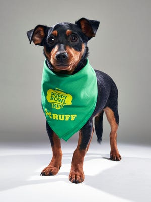 Teddy. Teddy, renamed Scrappy by his new owner, will play for Team Ruff in Animal Planet's Puppy Bowl XIV.