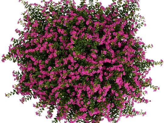 Floriglory Diana Mexican heather promises five times the flower power as others on the market.