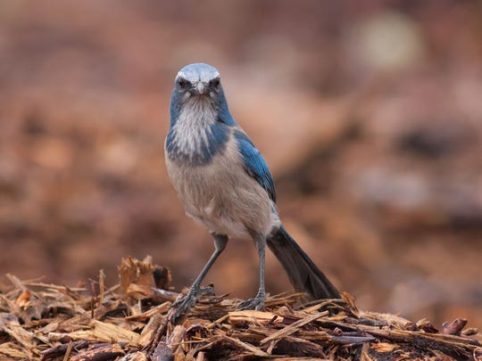 Photos by Paul Rebmann, like this Florida scrub jay, will be on display through March 4 at the education center at Jonathon Dickinson State Park in Hobe Sound.