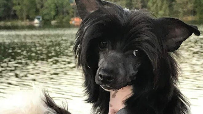 Entony - Chinese Crested male black and white