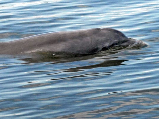 Indian River Lagoon dolphins