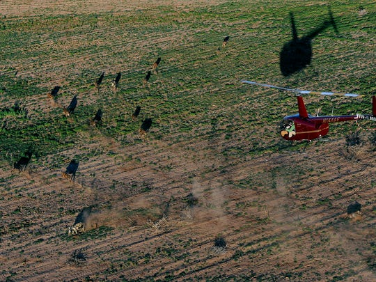 A pair of hunters shoot from a helicopter at a pack of feral hogs as they scatter across a field near Roby.
