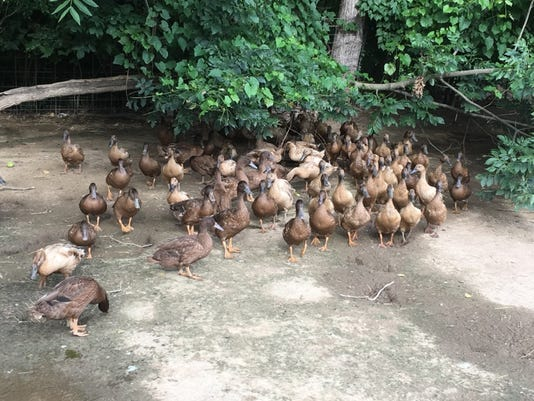 secaucus-ducks.jpg