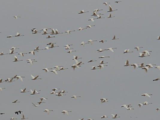 APC 041414 Yard MD BLOG- Extreme swans.JPG