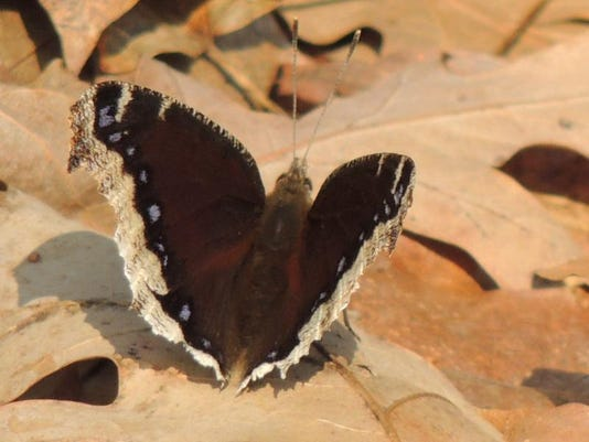 APC 040714 Yard MD BLOG- mourning cloak.JPG