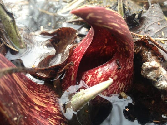 APC 041814 Yard MD BLOG- skunk cabbage.jpg