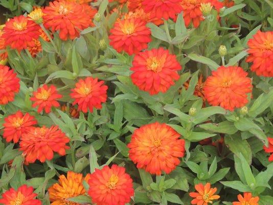APC f FF family garden companion planting pt 2.JPG