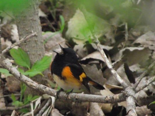 APC 050814 YARD MD BLOG-migrating warblers.JPG