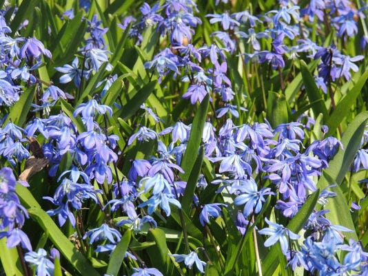 APC 051514 Yard MD BLOG-Siberian squill (1).JPG