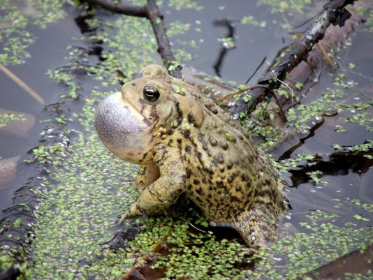 -APC zimmer nature frogs toads LEAD.jpg