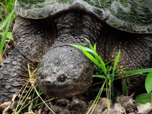 APC zimmer nature turtles nesting LEAD.JPG