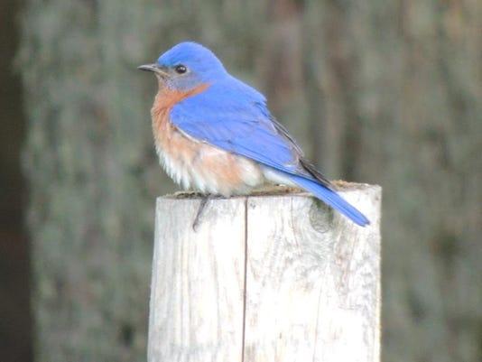 APC zimmer nature blue birds 2.JPG