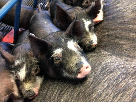 Berkshire piglets (2).JPG