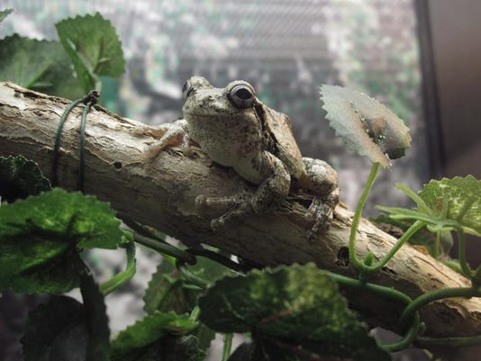 Gray Tree Frog 11_JillSharp.jpg