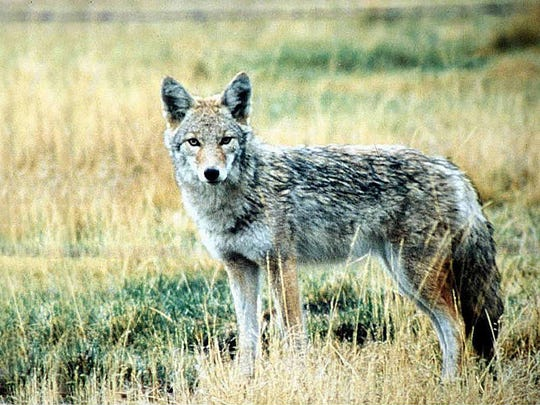 The state Department of Environmental Protection's Division of Fish and Wildlife is working to capture a coyote that has twice attacked people on the Livingston Campus of Rutgers University during the past week.
