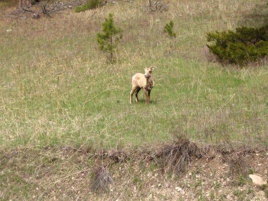 -Bighorn in Little Belts.JPG_20140523.jpg